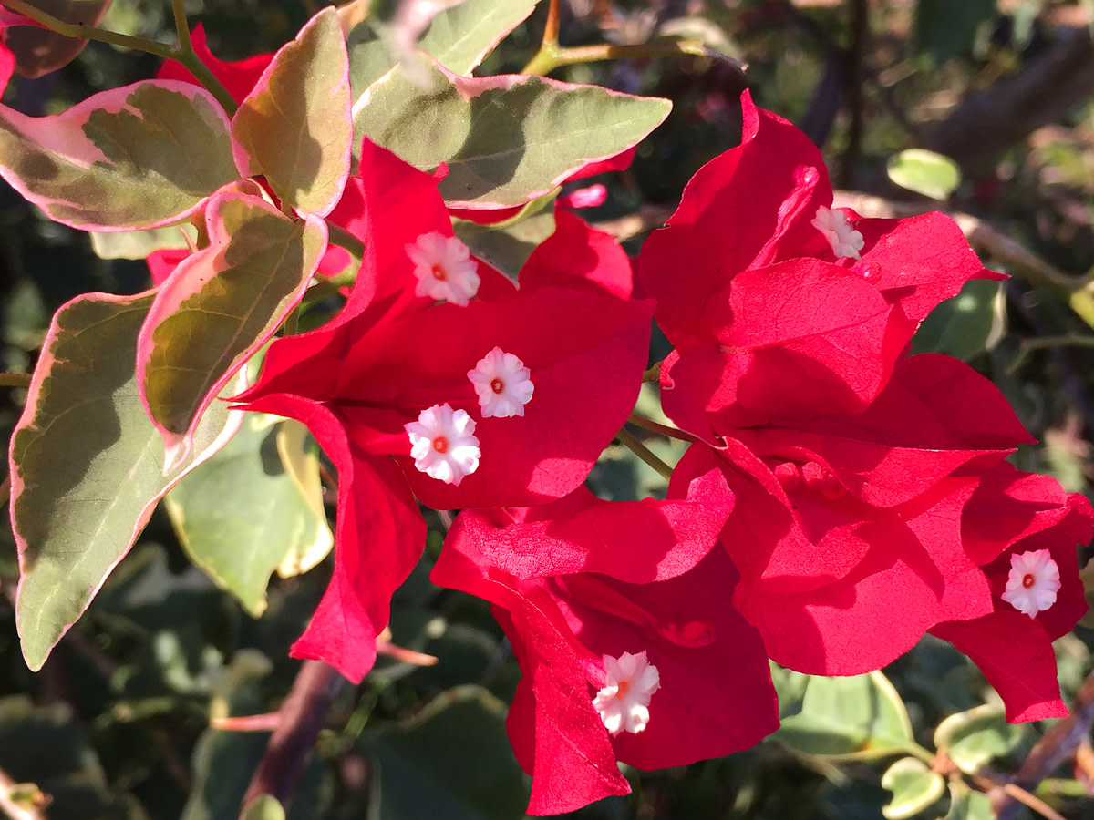 Variegated Bougainvillea sp.