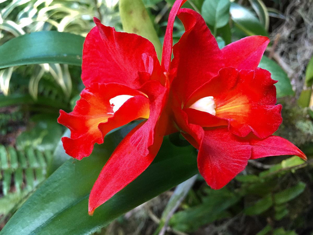 Cattleya orchid cultivar.