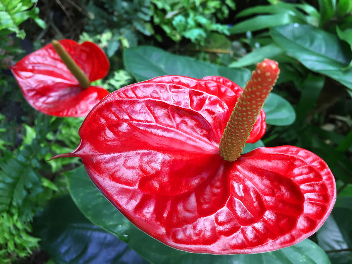 Anthurium sp.
