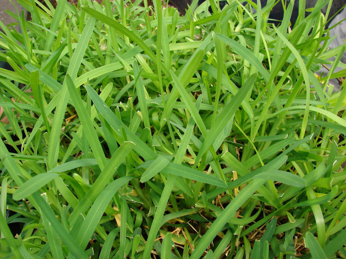 As a warm weather turf grass, St. Augustine grass flourishes in many parts of the southern United States.
