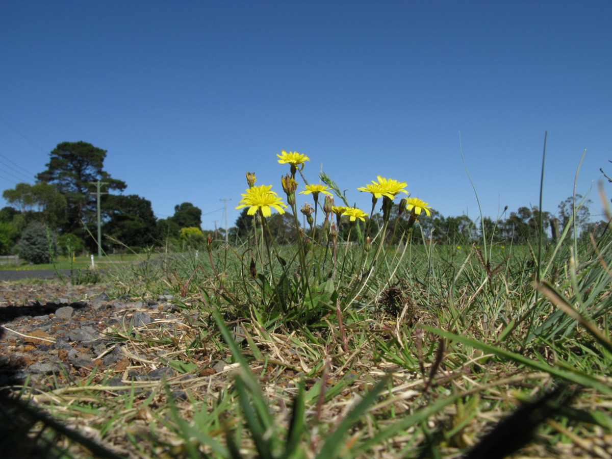 Applying a feed-and-feed type of lawn fertilizer kills weeds and promotes new growth.