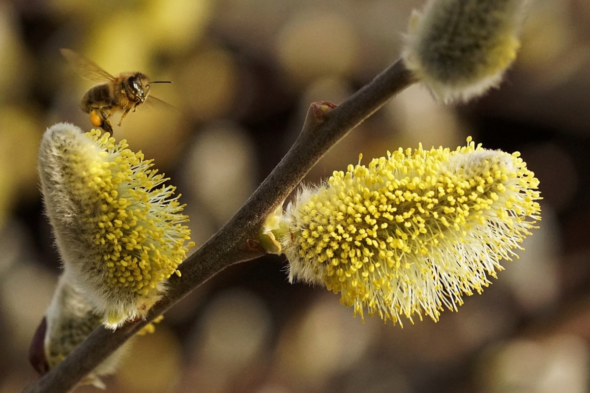 Bee collecting pollen on a male catkin