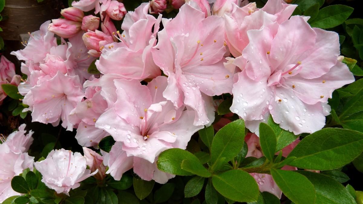 Dewy Azalea Blossoms