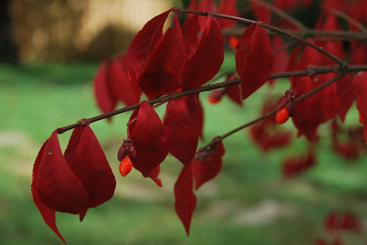 How To Care For The Burning Bush Plant