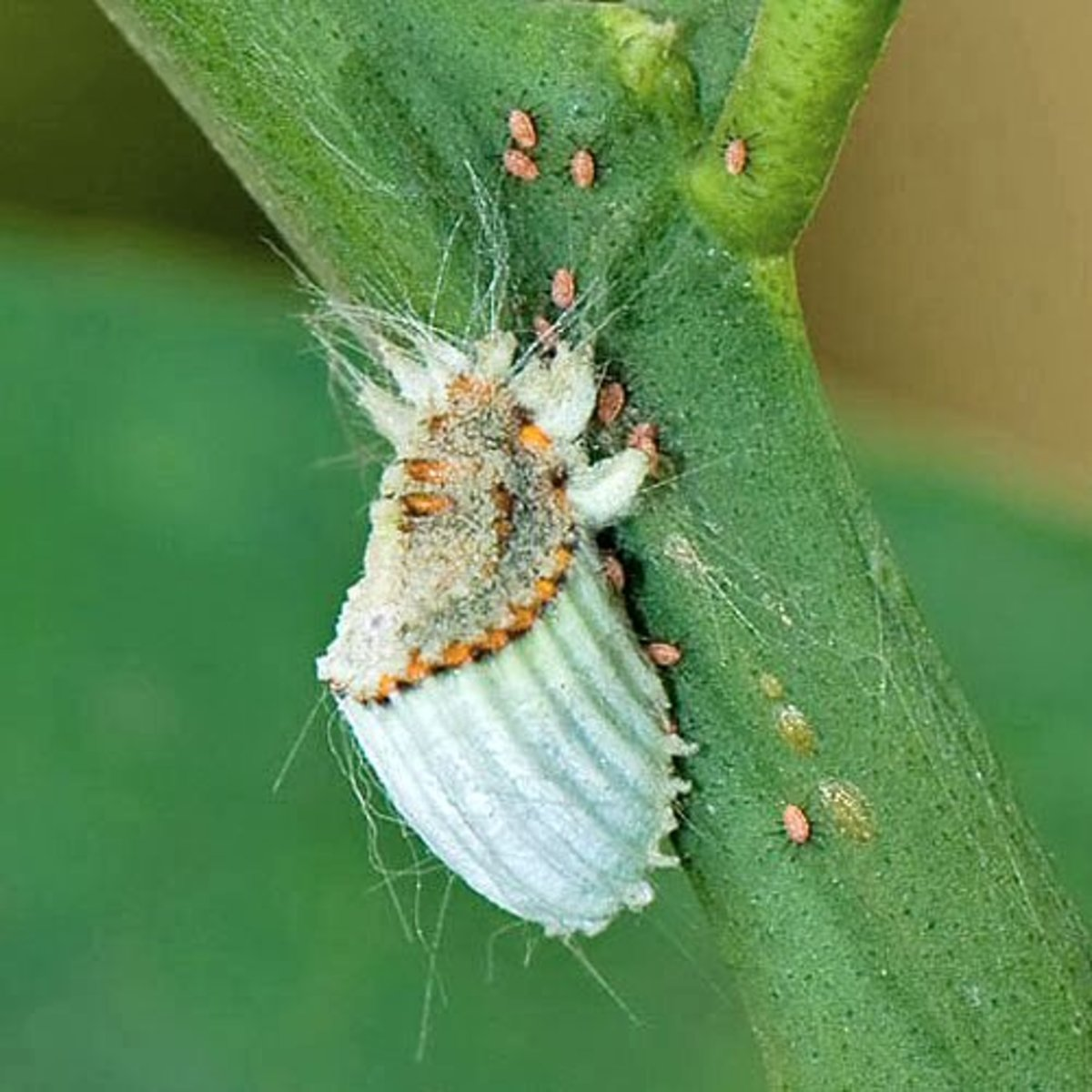Female with newly hatched crawlers
