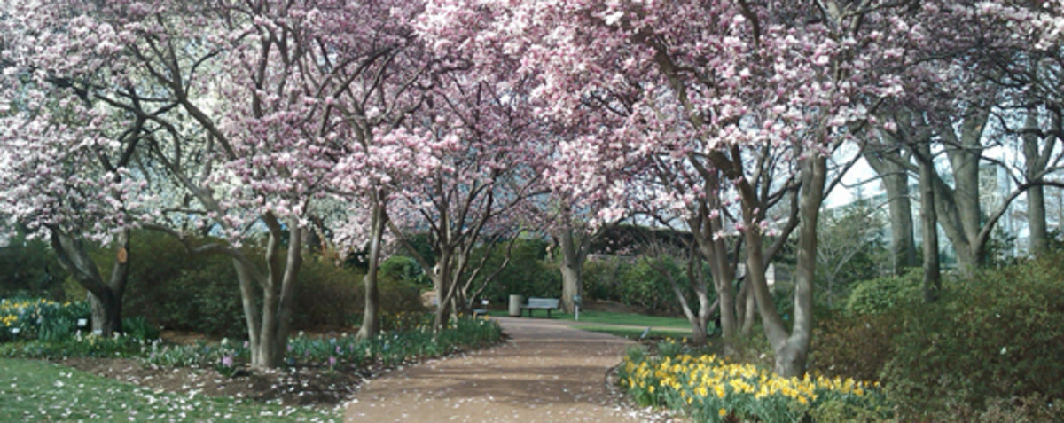 Ohio's Blooming Magnolia Trees