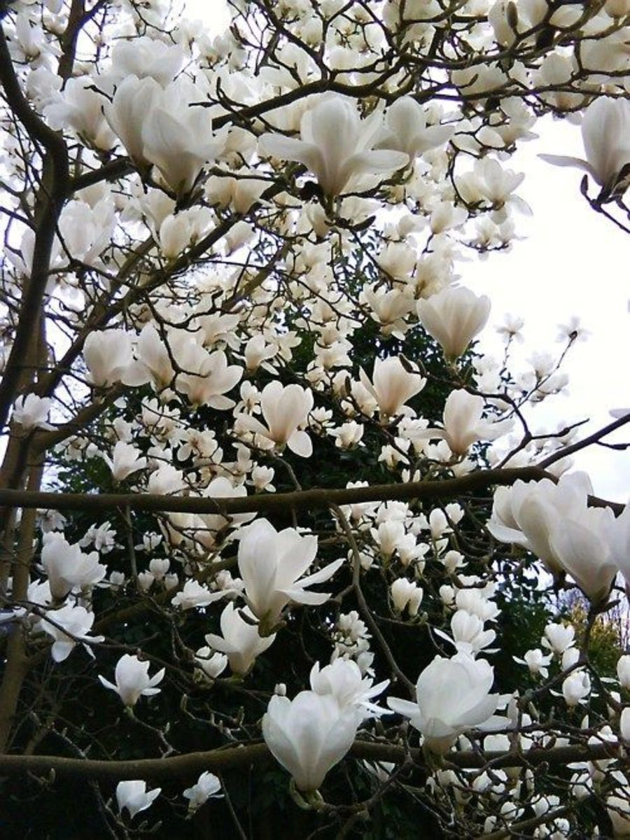 Magnolia tree varieties bloom in white, pink, magenta, yellow, and many hues in between.