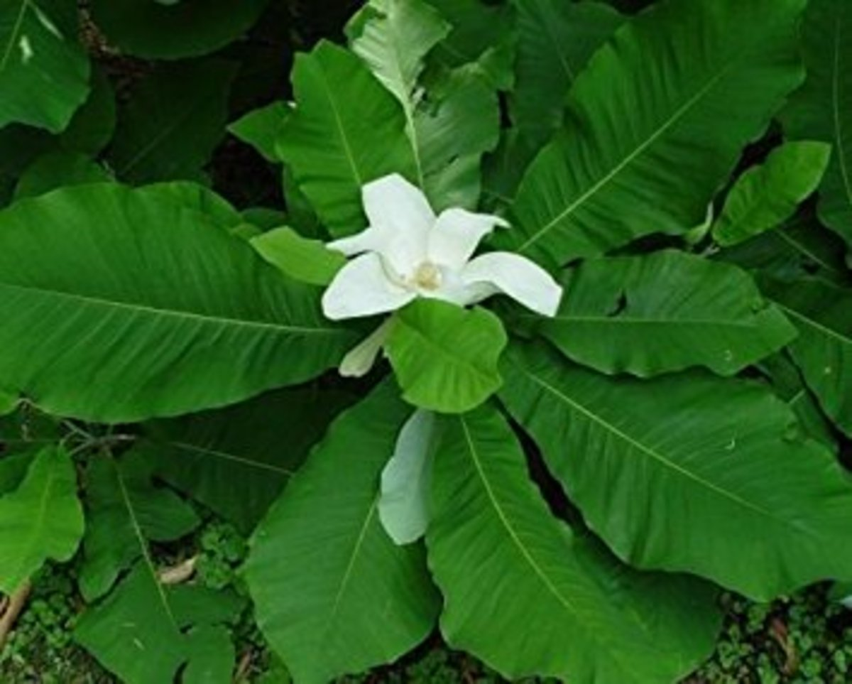 Bigleaf magnolia tree bloom