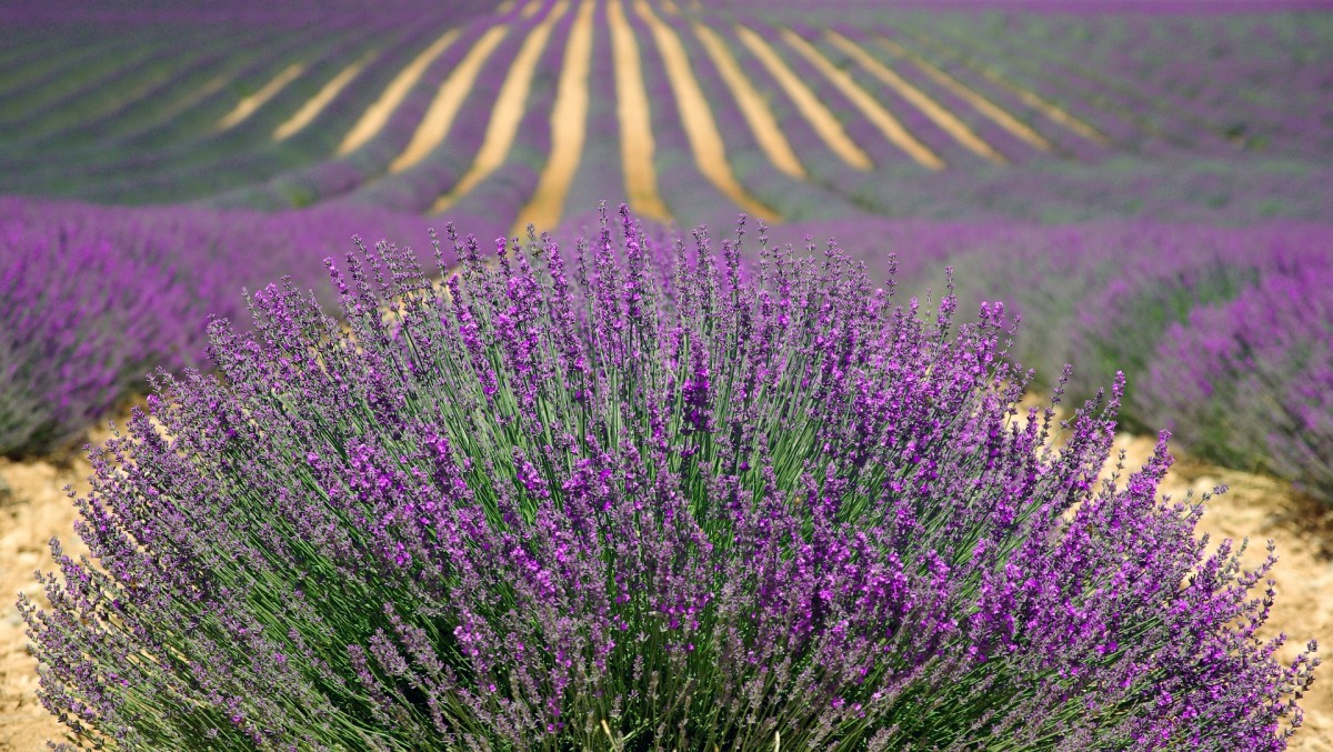 Lavender Is A Gorgeous And Smelling Plant To Grow In Your