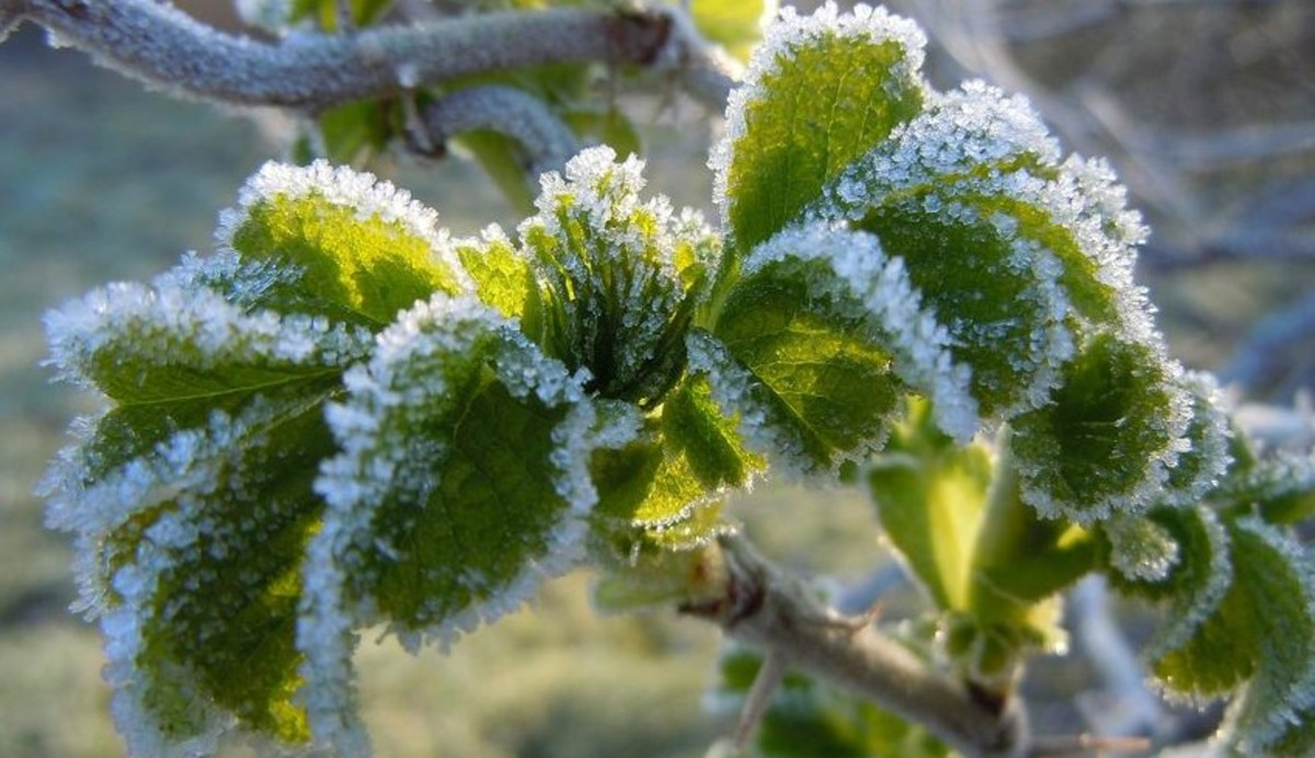 Trees and plants in Ohio are susceptible to spring frost damage