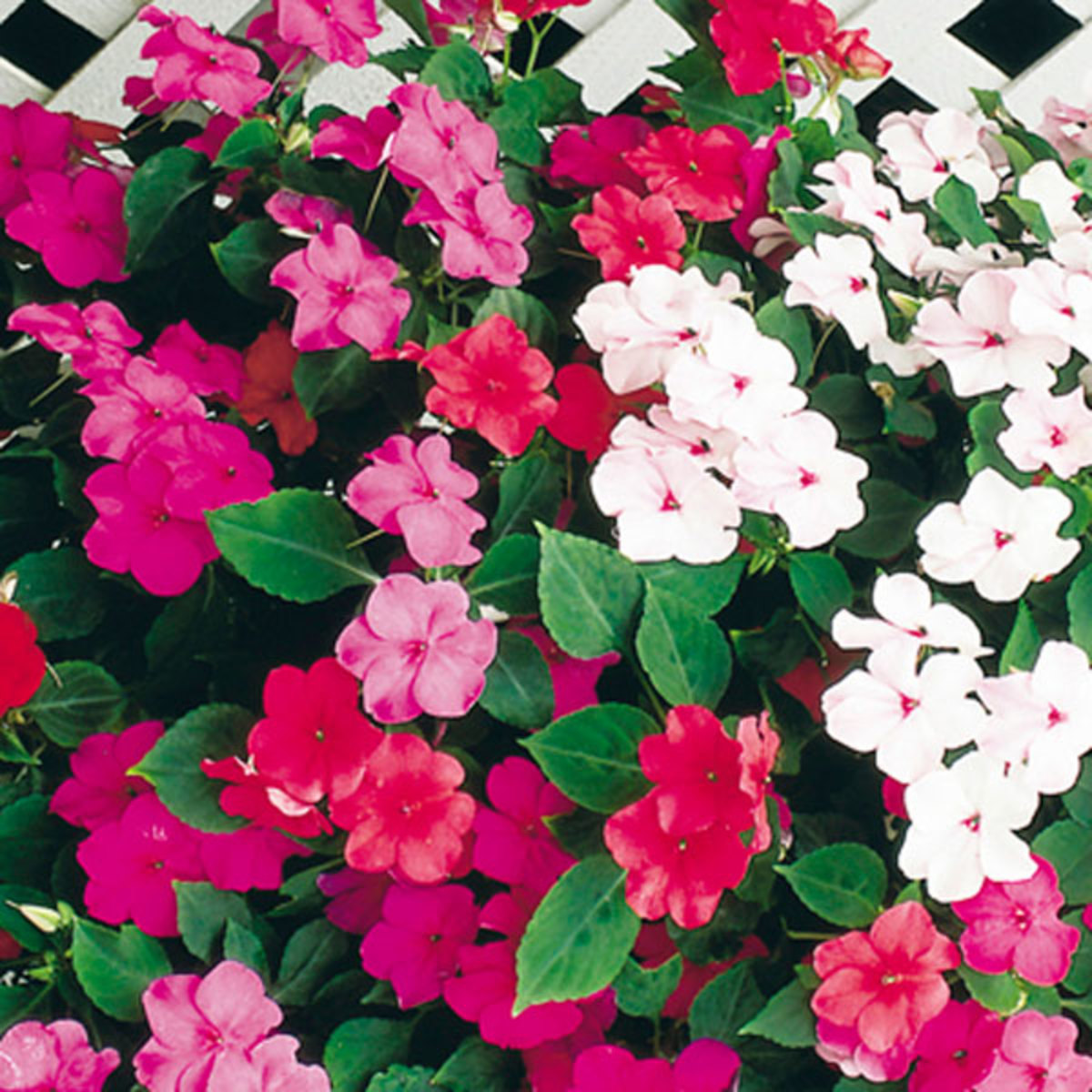 Impatiens 'walleriana'