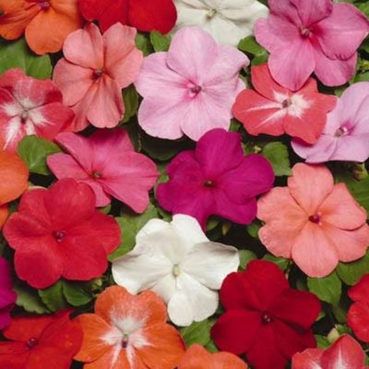 Colorful impatiens bring rainbows to your yard or garden!