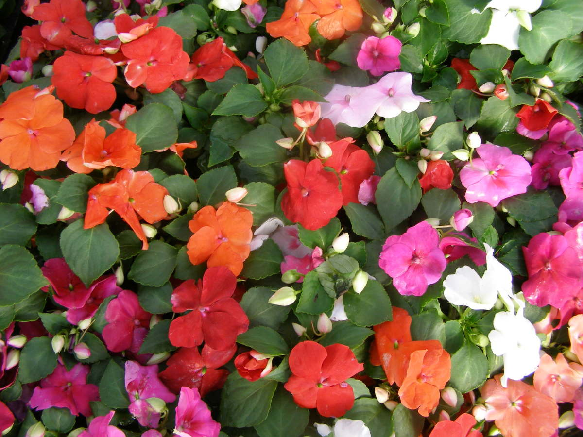 'Dazzler Mix' impatiens