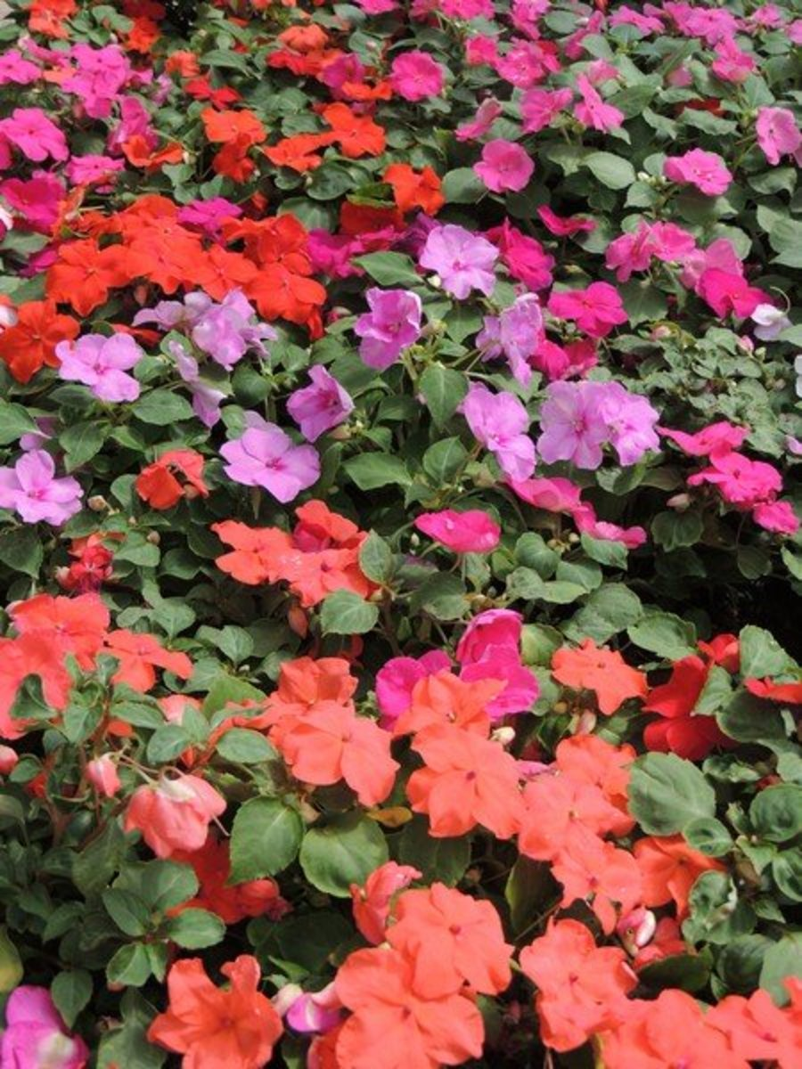 Water impatiens as needed