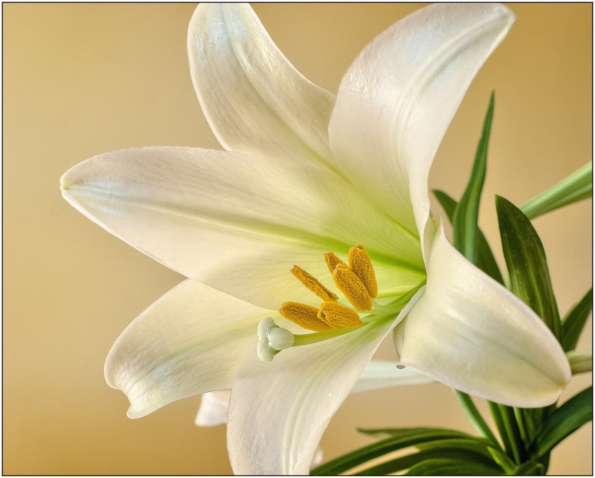 As the name implies, Easter lilies often decorate homes and churches during the Easter season.