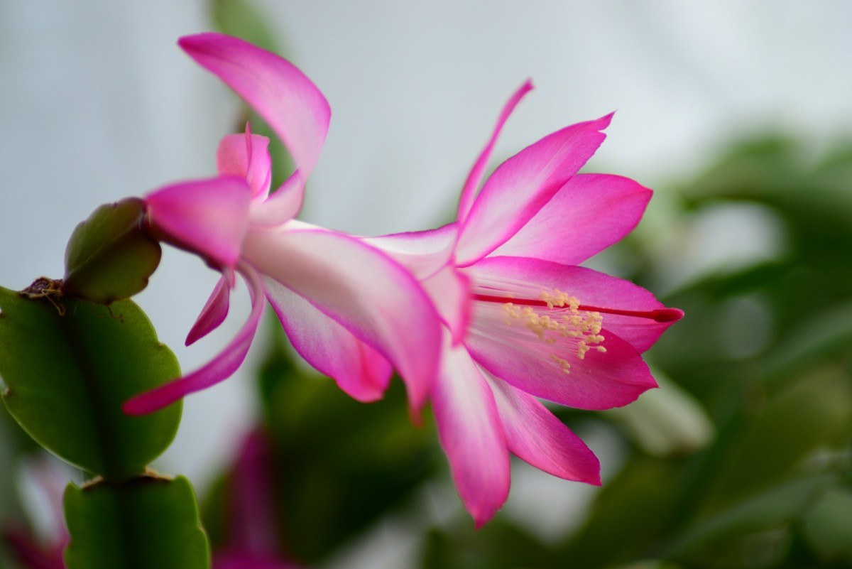 How to Care for Easter Cactus