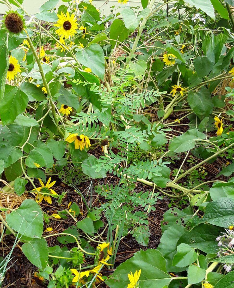 This desert indigo (center) will grow into an ornamental, nitrogen-fixing shrub that provides fertility to surrounding plants.