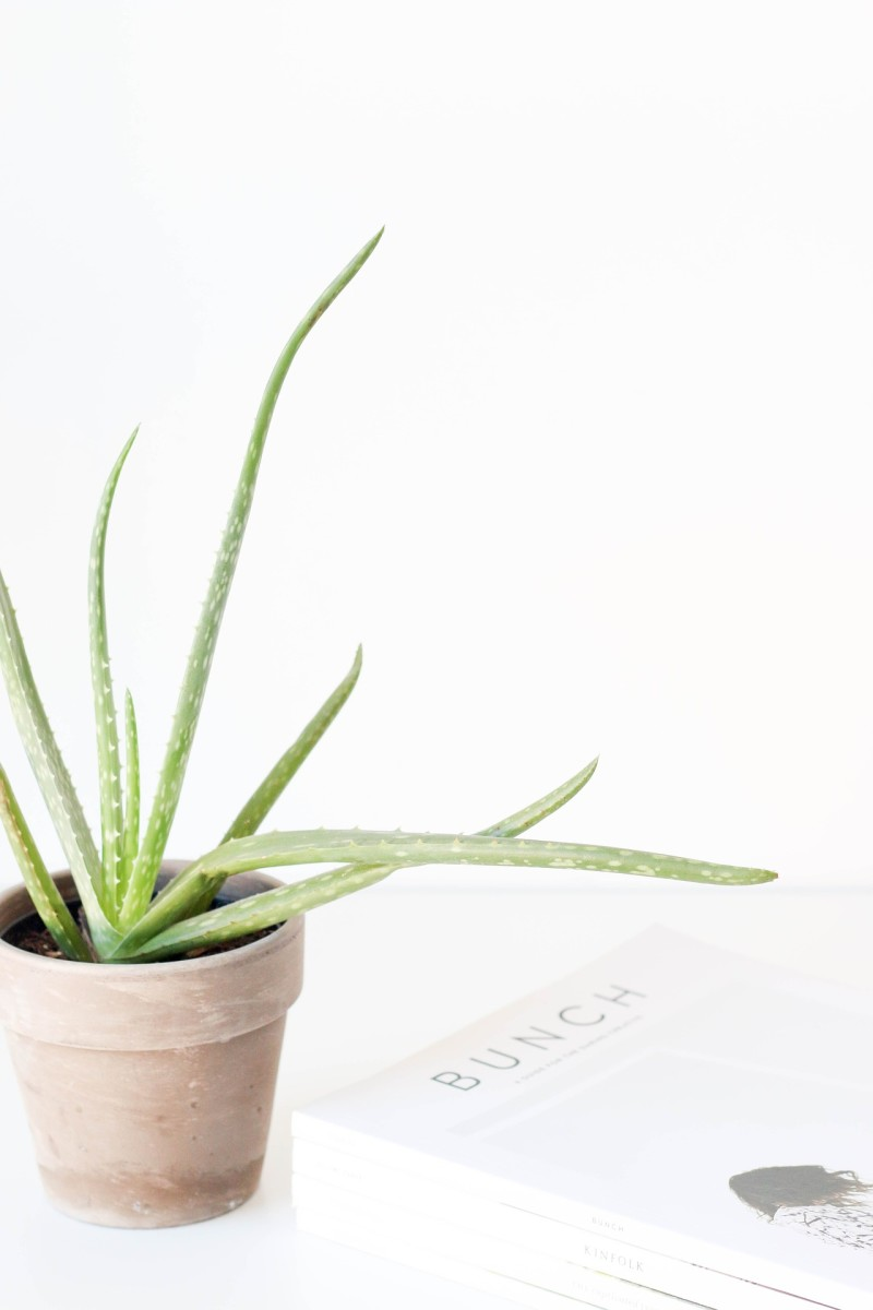how-to-care-for-an-aloe-vera-plant