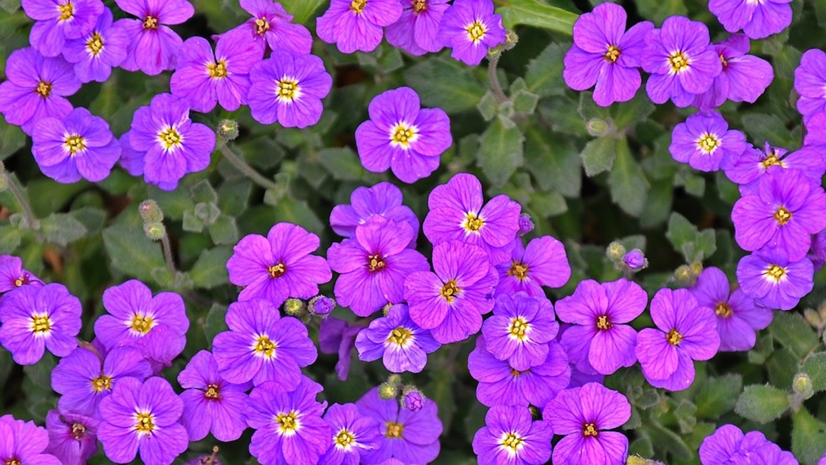 How to Plant and Grow Hardy Perennial Geraniums