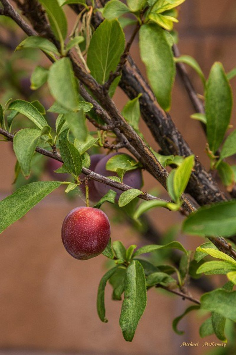 The birds that visit our backyard picked our wild plum tree bare last year, and we are looking forward to them coming back this year for more of this delicious fruit.