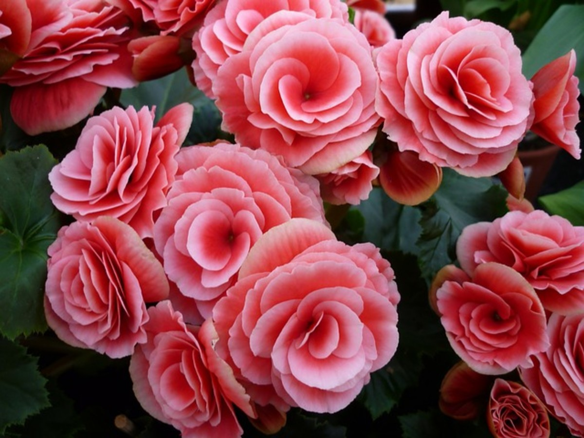 How to Care for Tuberous Begonias