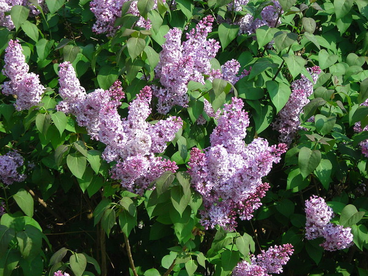 How to Grow Lilacs for Spring Color