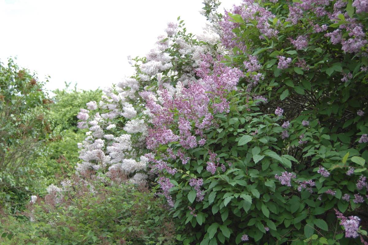 A lilac hedge planted with different cultivars.  Some have already finished blooming (as shown by the brown spent flowers) while others are just coming into bloom.