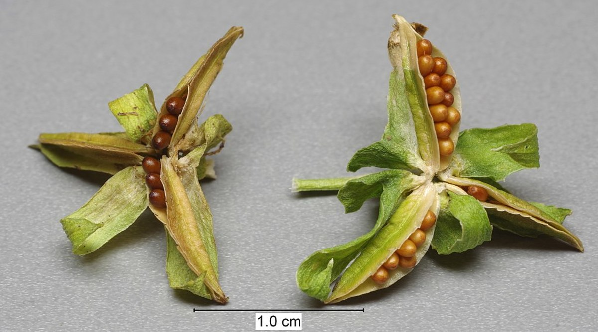 Pansy seeds from a plant that has not been deadheaded and allowed to go to seed.
