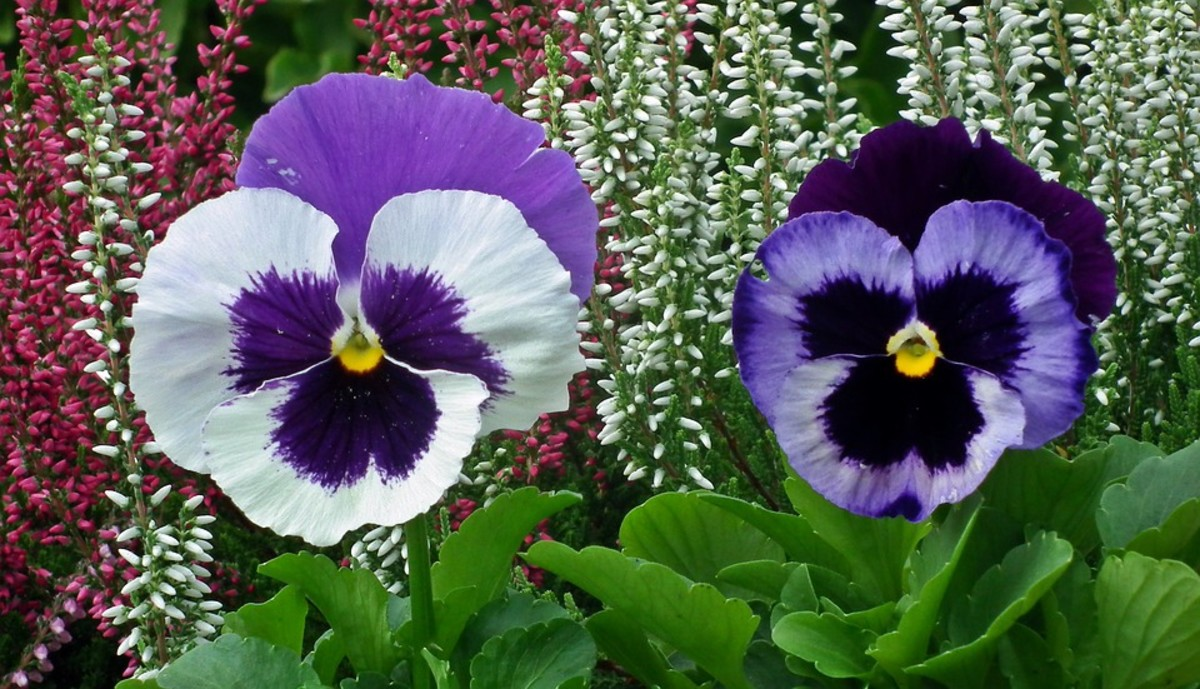 Flowers can be bicolor