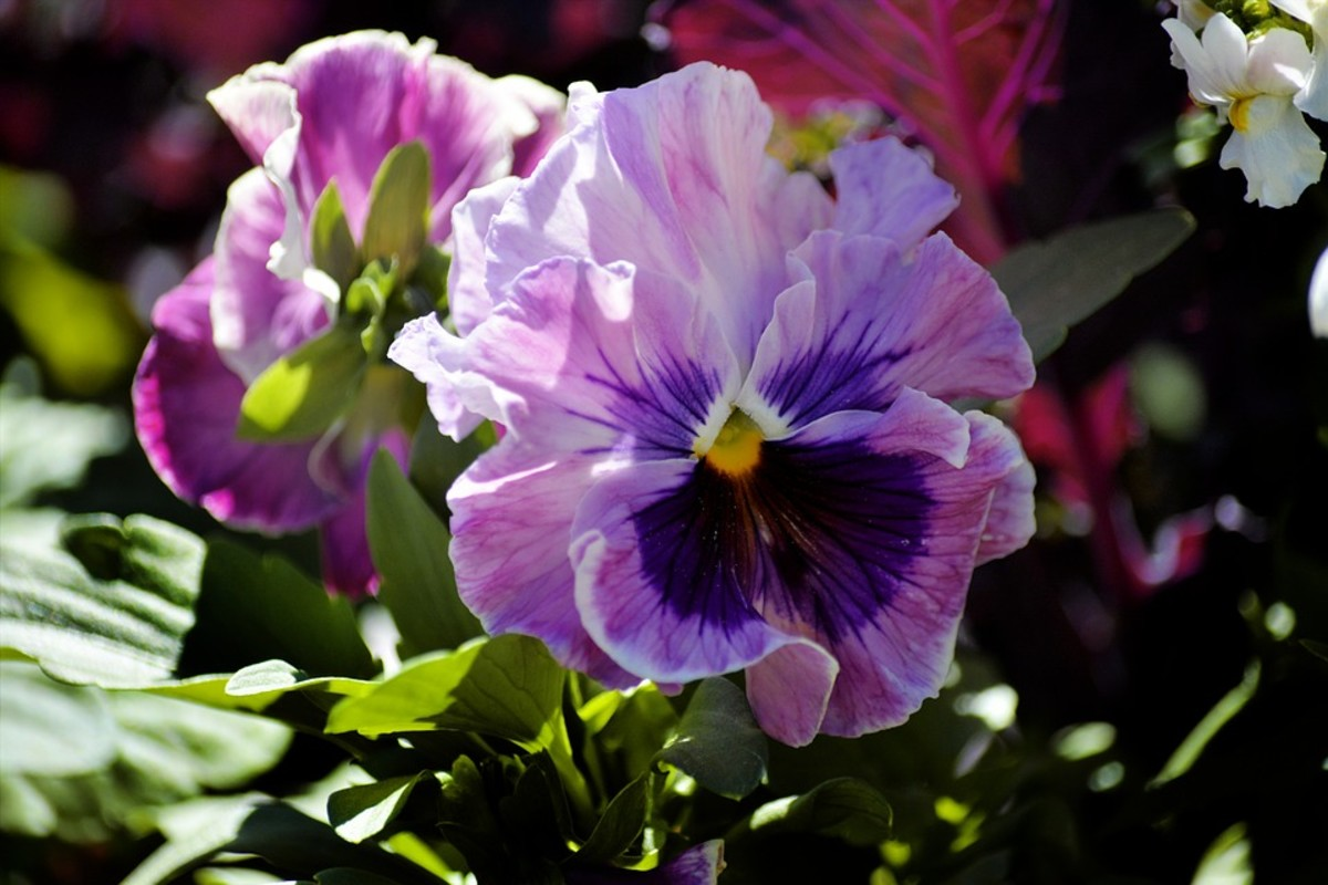 The petals can also be ruffled