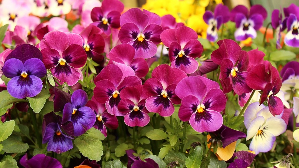 How to grow pansies for spring or fall color dengarden one of my favorite spring flowers are pansies mightylinksfo