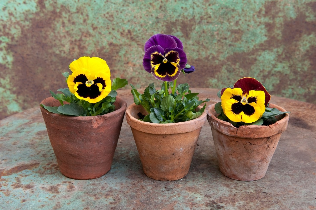 How to Plant Pansies in the Garden