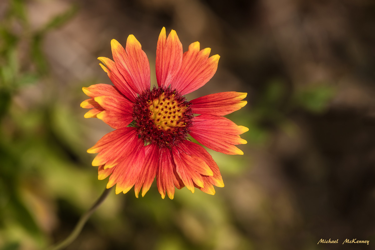 Colorful Blanket Flowers Loved by Butterflies, Birds, and Bees