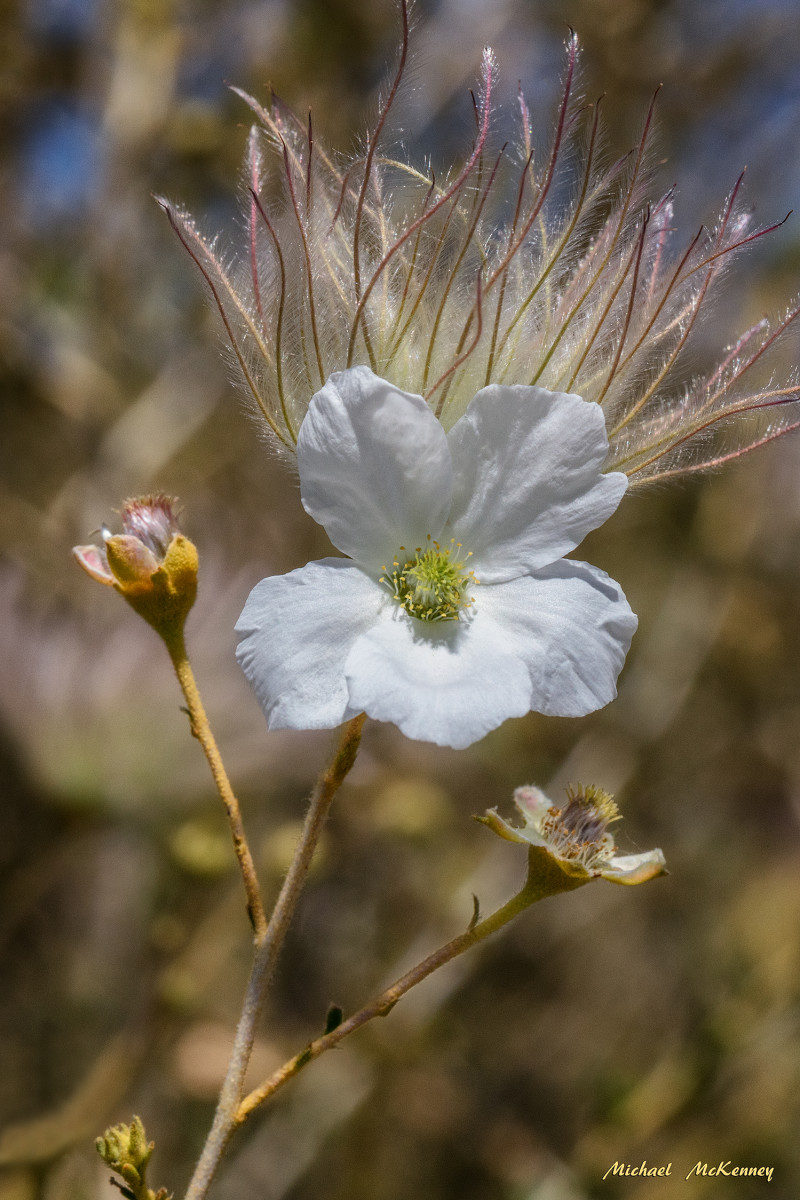 Apache Plume Shrubs Are Showy, Native Western Favorites
