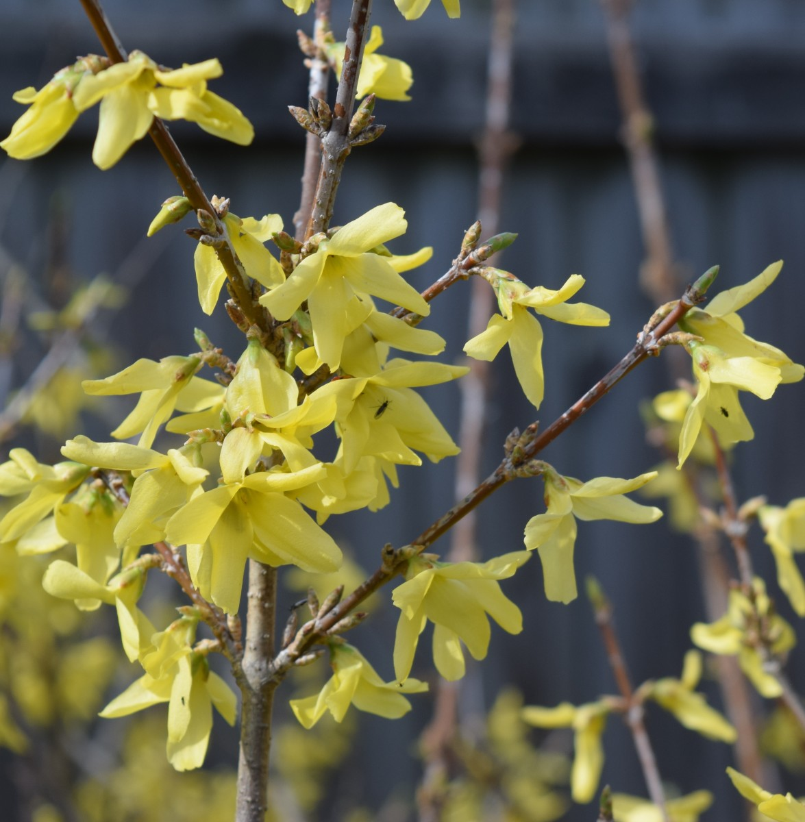 Forsythia already attracts insects.