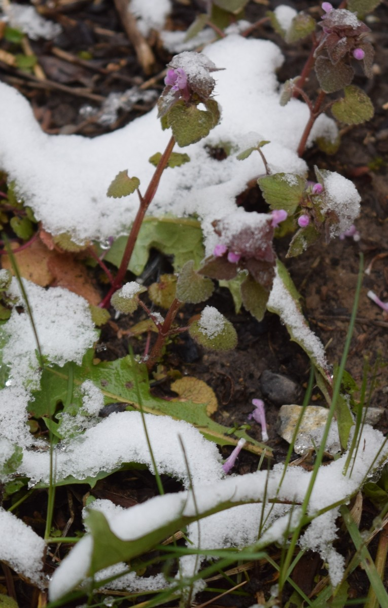 "Weeds: Heal all (purple flower) and Dandelion leaves with blades of grass coming up.""We don't let a little snow stop us."""