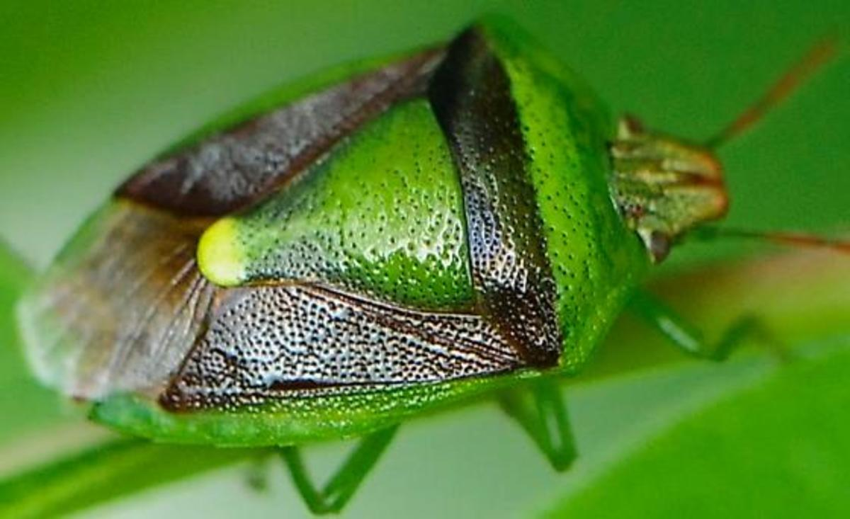 The Banasa dimidiata stink bug.