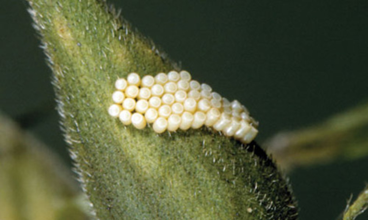 These are eggs of the southern green stink bug.  The life cycle of this bug is completed in 65 to 70 days, but it all starts with the egg.