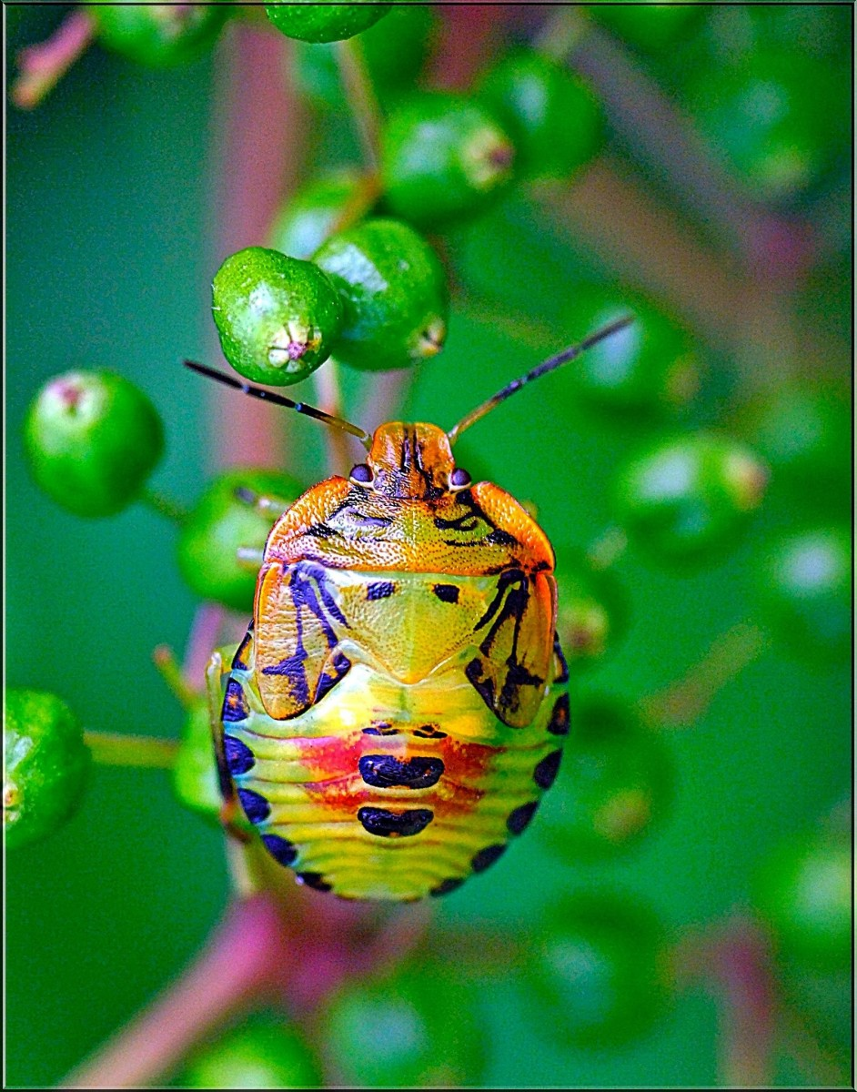 This is a colorful sting bug. These bugs have many different looks, but their shield shape remains pretty consistent so they should be easily recognizable.