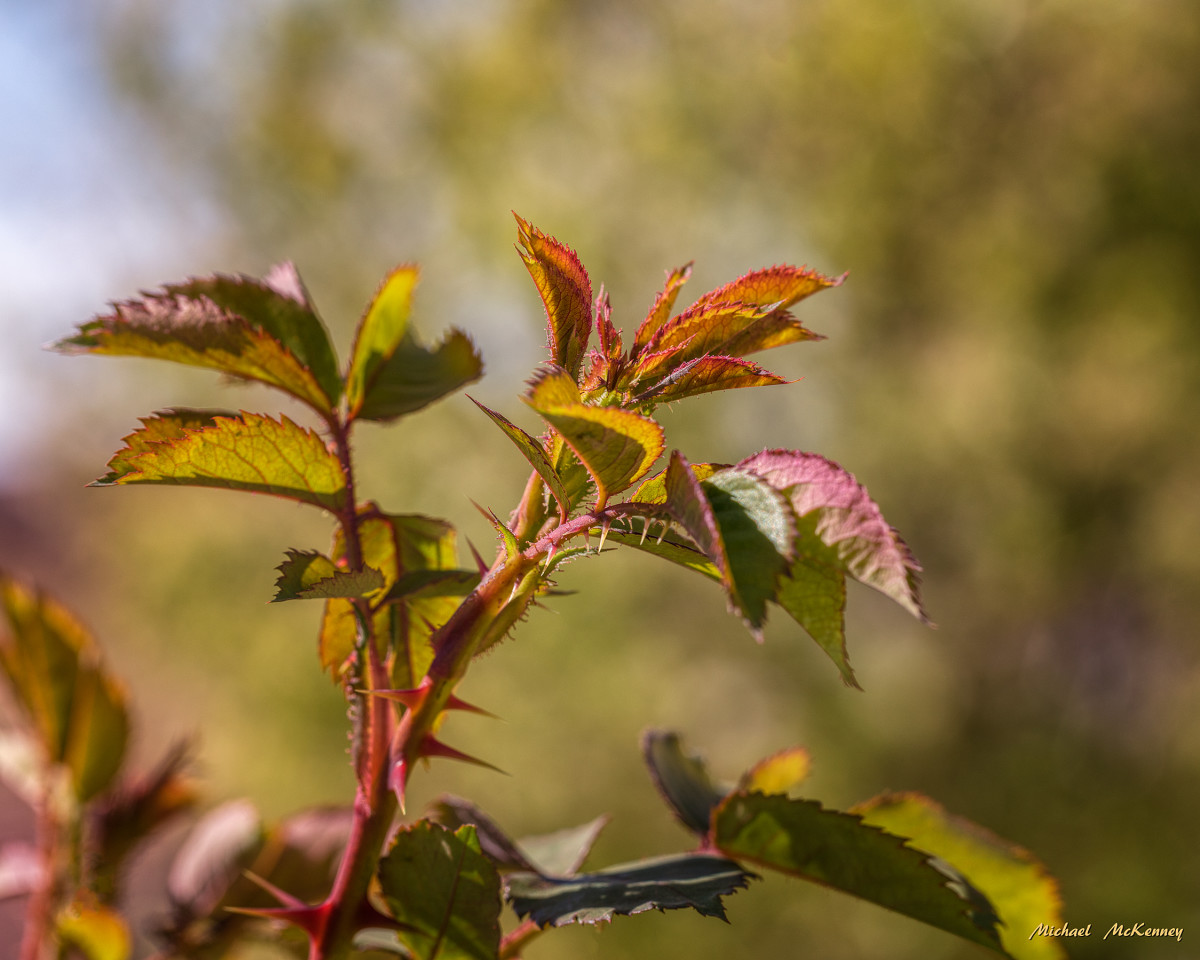 Even the new growth of leaves on our wild prairie rose bush was attractive.