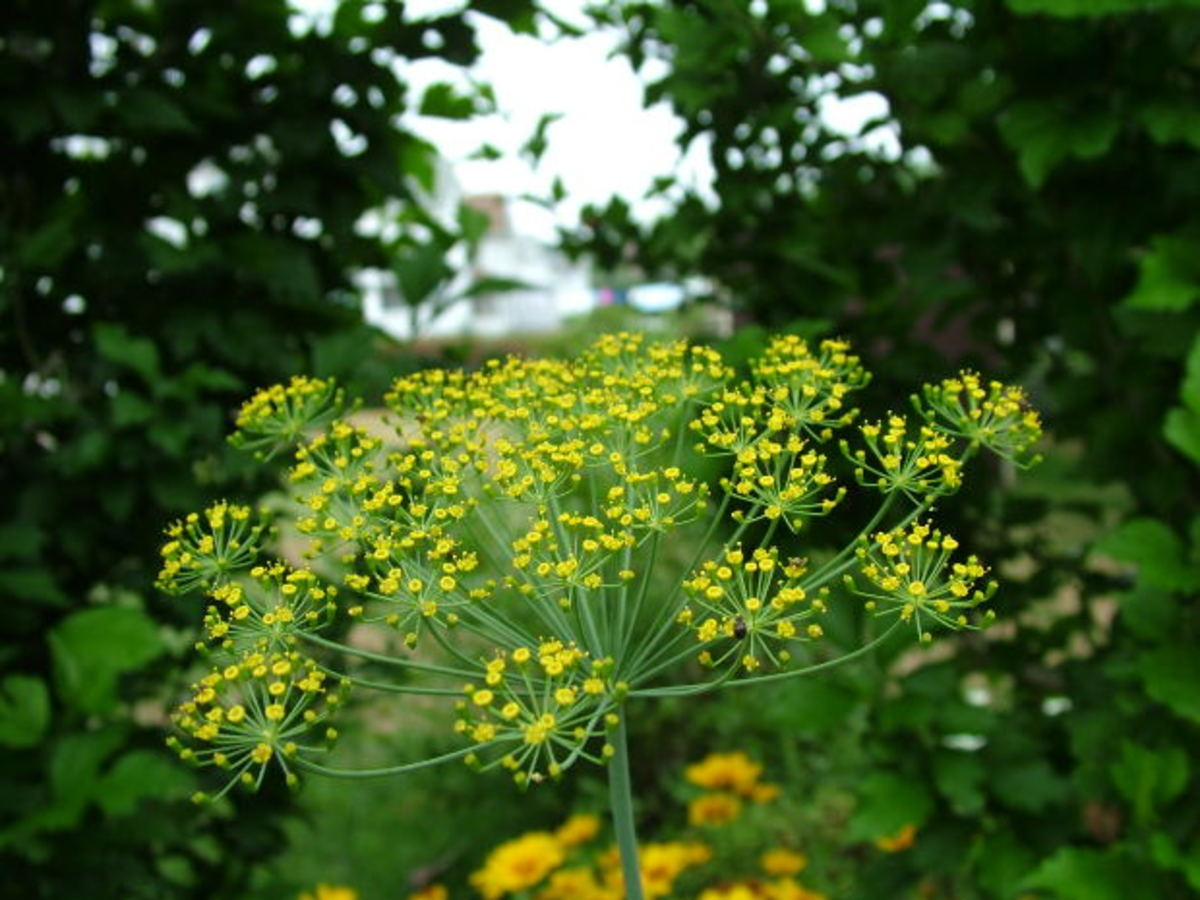 Dill can be dried or used fresh. It is the perfect herb for pickling.