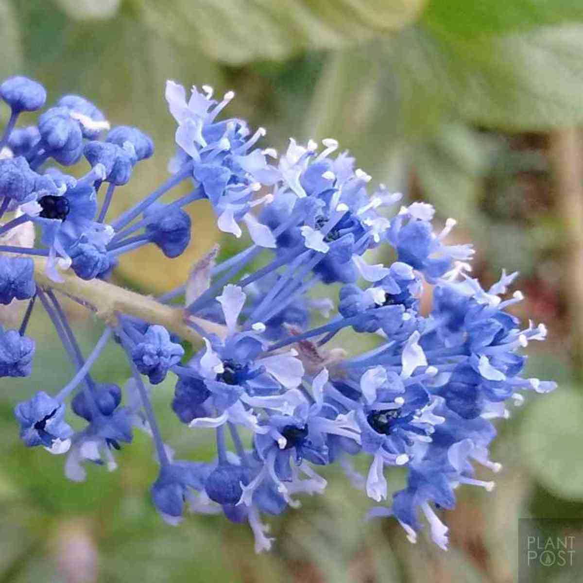 A close-up view of the trewithen blue california lilac.