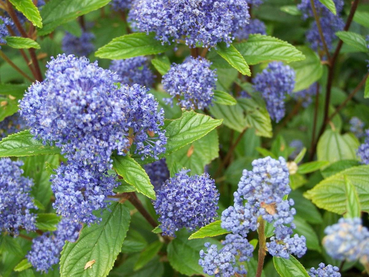 California lilac (Ceanothus arboreus) trewithen blue, one of the 60+ species of this low-maintenance, evergreen plant.