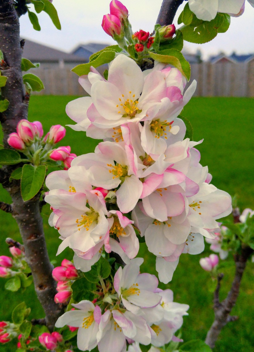 Urban apple trees.  With a maximum height of 10 to 12 feet and a diameter of only 3 feet, they are ideal for small spaces.
