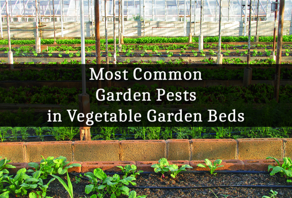 Most Common Garden Pests in Vegetable Garden Beds