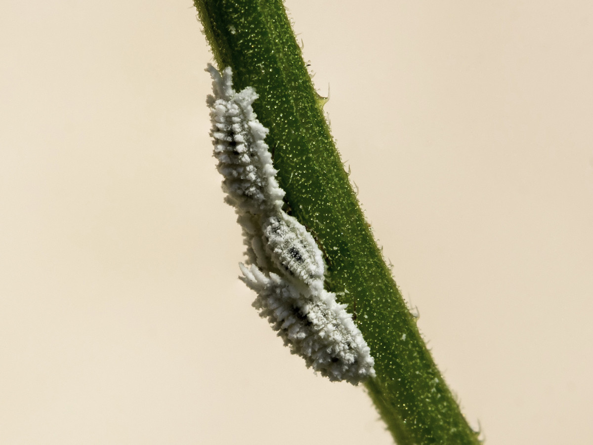 Mealybugs on a flower.
