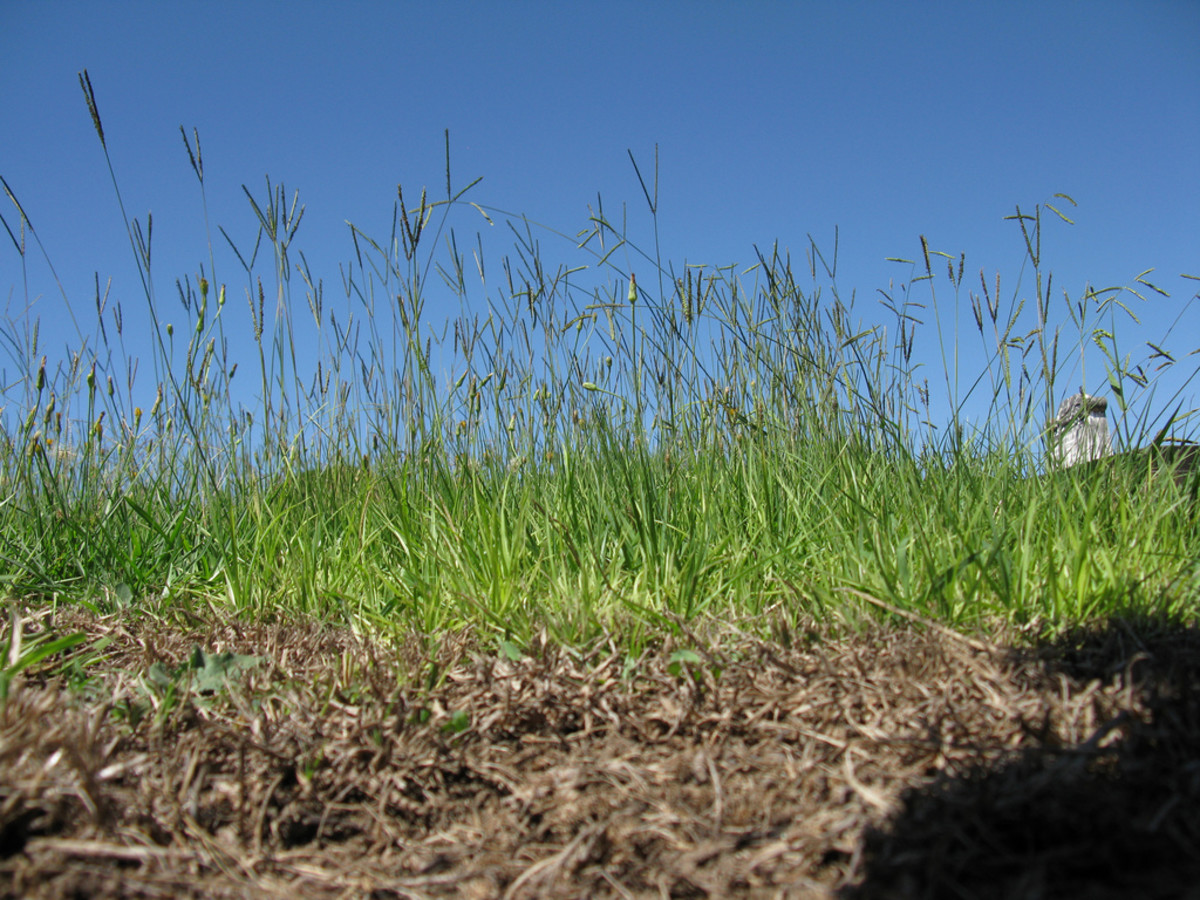 How to Care for a Bahiagrass Lawn