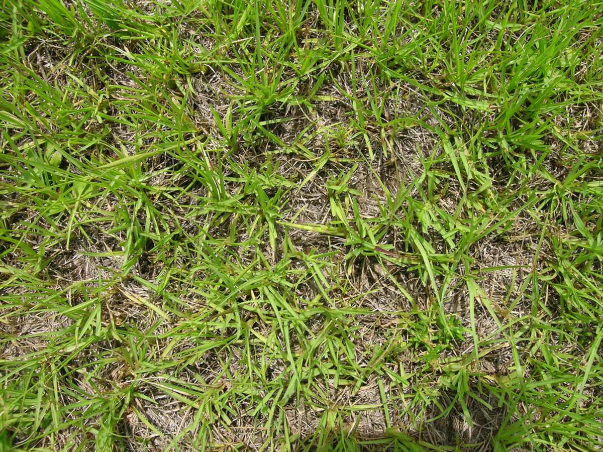 How to Care for a Bahiagrass Lawn | Dengarden