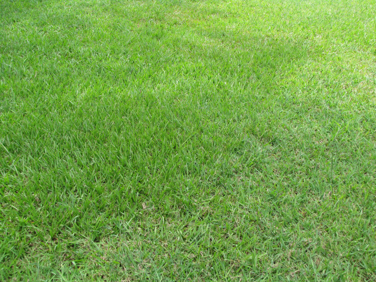 A full and healthy bahiagrass lawn crowds out weeds.