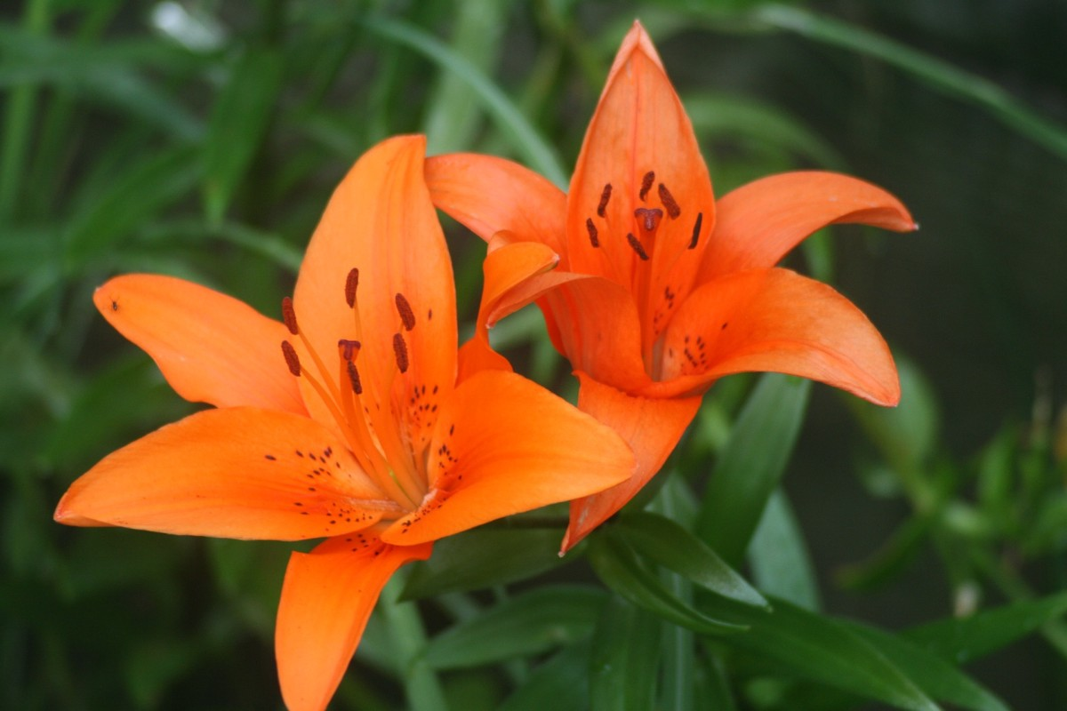 Tiger Lilies Thrive Well Untended In Nature So It Stands To Reason That Are Fairly Simple Grow Your Home Or Garden